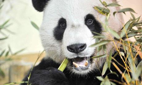 Giant-panda-Yang-Guang-tu-007